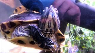 Turtle Tank 120 gallons - Chomper & Nub