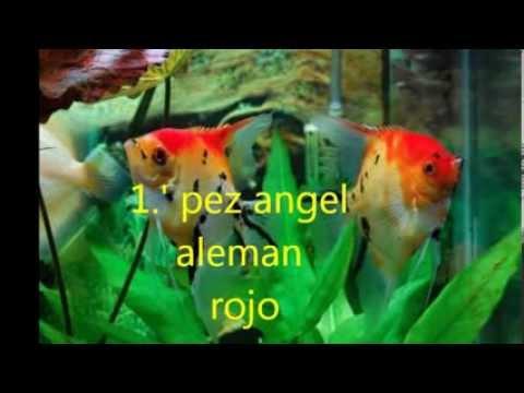 Tipos de peces ngeles doovi for Peces goldfish tipos
