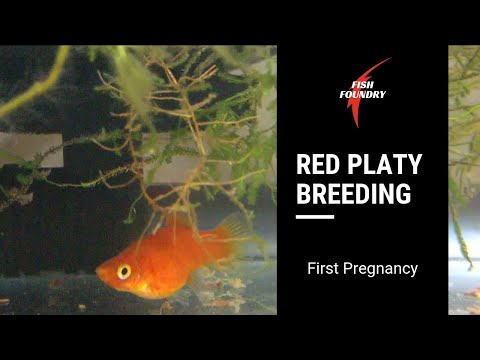 First Time Platy Breeding [2] || First Pregnancy! || Fish Foundry