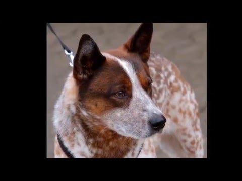 Beautiful photo Australian Cattle Dog