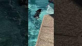 "Phoenix dog training ""k9katelynn.com"" teaches Sophie (labadoodle) how to swim! K9katelynn.com"
