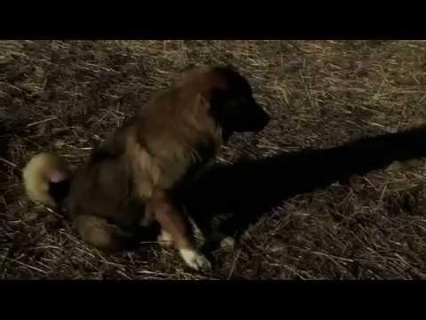 Documentary of Caucasian shepherd dog