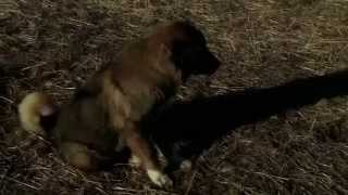 Documentary of Caucasian shepherd dog thumbnail