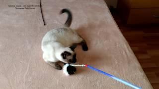 Как тайский котёнок Изабель пыталась спрятать игрушечную мышку! Тайские кошки - это чудо! Funny Cats