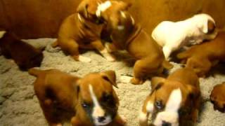 10  Akc Champion Sired Boxer Puppies For Sale In Washington