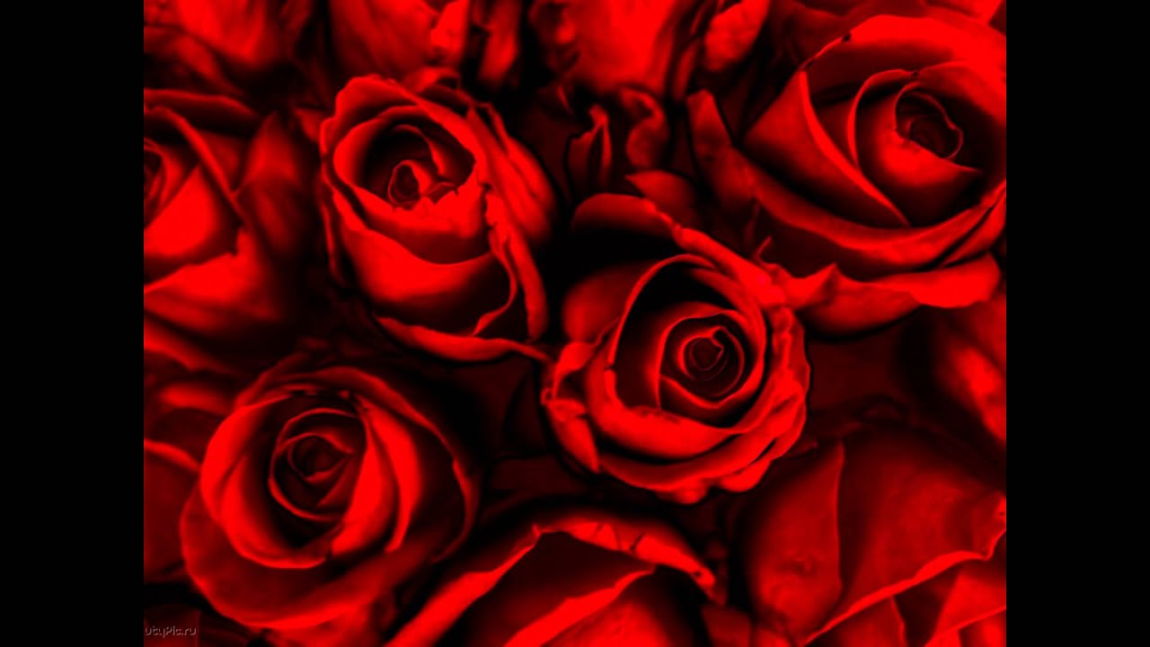 latest collection of rose flower wallpapers - youtube