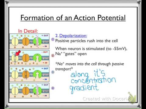 Biology 30: Formation of an Action Potential