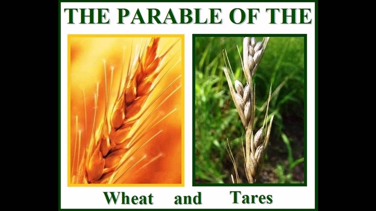 Image result for wheat and the tares pictures
