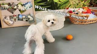 My Maltese Dog Is So Smart  Cute Maltese Puppy  Champion