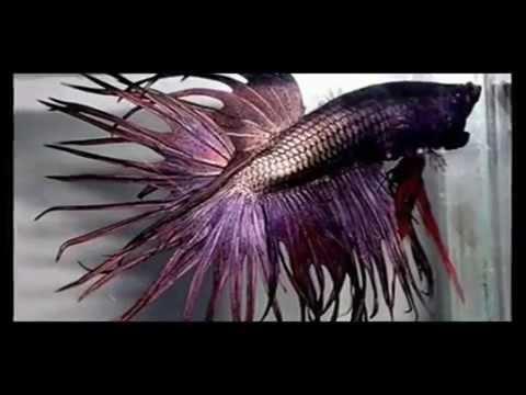 ปลากัดสวยงาม..พันธุ์ต่าง ๆ