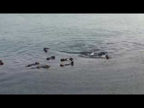Sea Otters in MB