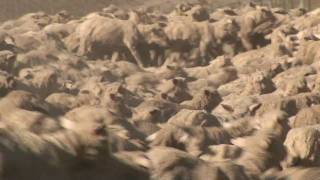 "Bendigo Merinos Flow Across The Land  - ""sheep Station Nz"" Taster 04"