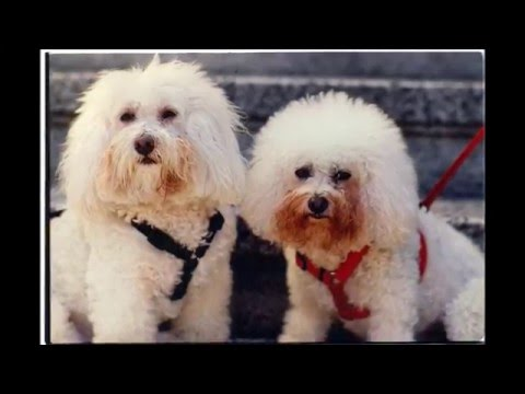 beautiful pictures of dogs breed Bichon Frise