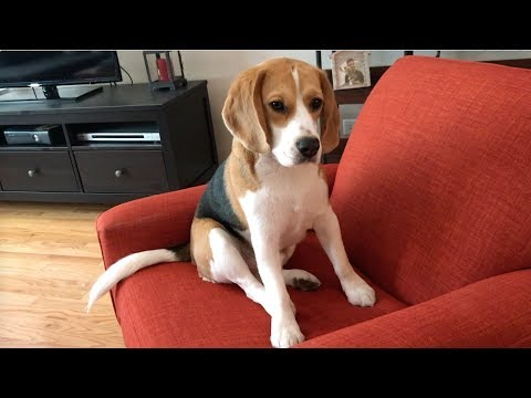 Classic beagle sulk