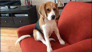 beagle-bent-on-destroying-pillow