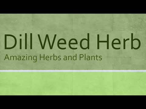 Dill Weed Herb Heath Benefits Health Benefits of Dill Weed Amazing Herbs and Plants