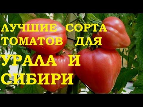 Лучшие сорта томатов - dizajn-