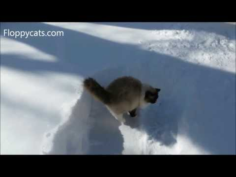 Ragdoll Cats Charlie and Trigg in Snow Early February 2014 - ねこ - ラグドール - Floppycats