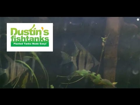 Aquarium Fish From Peru Update: Apistos, Cories, Angelfish