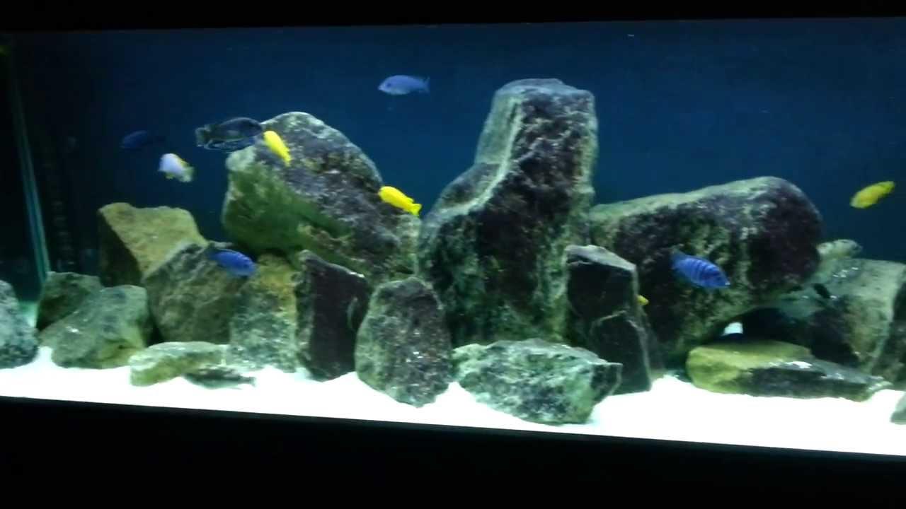 Mbuna And Shrimp Tank Update Sept 23 13 New Hardscape