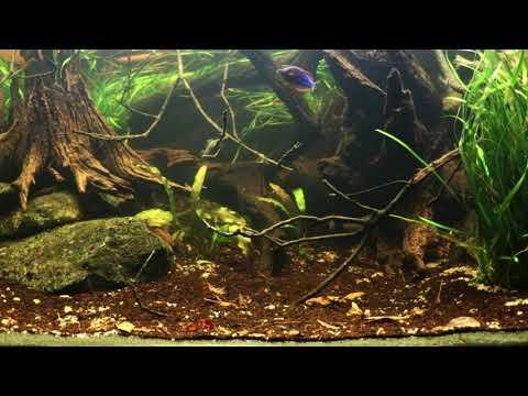 Biotope Aquarium Neon Rainbow West Papua.