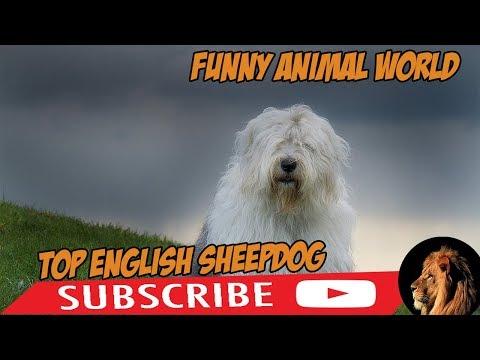 top Funniest English Sheepdog Videos ( best English Sheepdog ) funny animal world