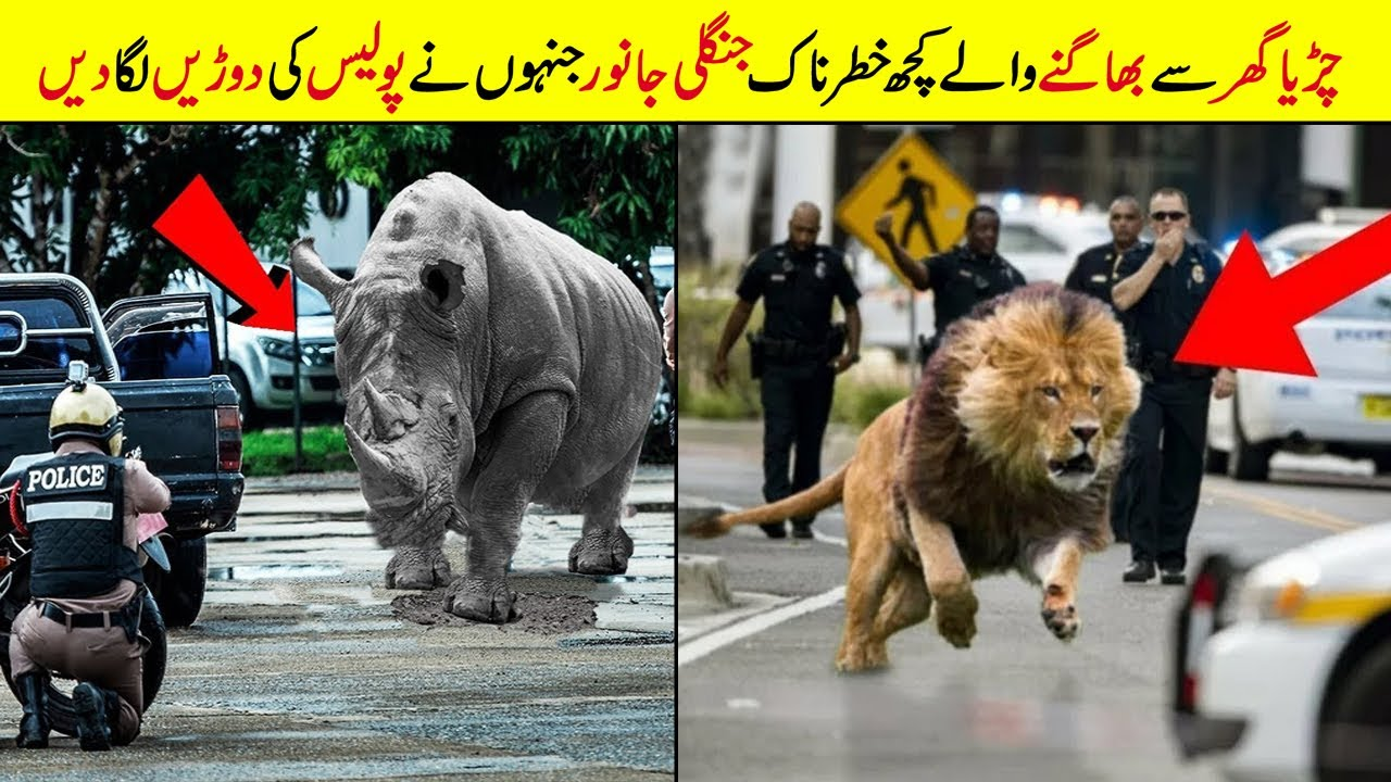 Aise janwar keh Jo ZOO se bhaag Gaye | Animals That ESCAPED From The Zoo