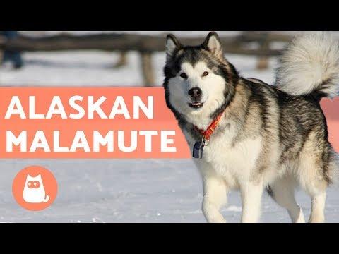 Malamute de Alaska - Características