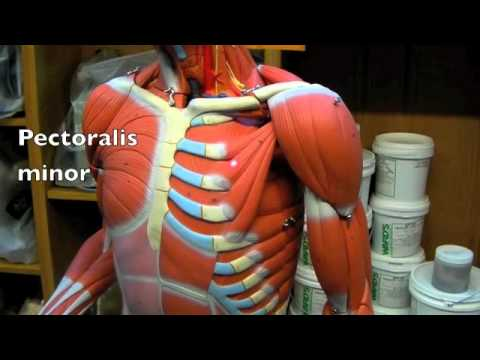 trunk-back/chest/abdominal wall muscle - YouTube