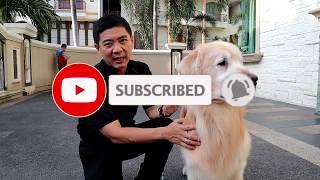 Gold Legend Kennel : Gudangnya Anjing Golden Retriever Lokal Berprestasi