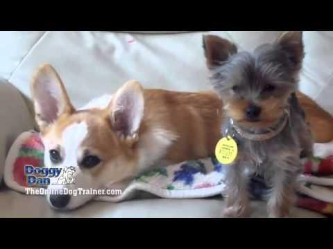doggy-dan-the-dog-whisperer-tips-aggressive-dogs