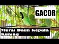 Suara Pancingan Cucak Ijo Kepala Kuning Gacor  Mp3 - Mp4 Download