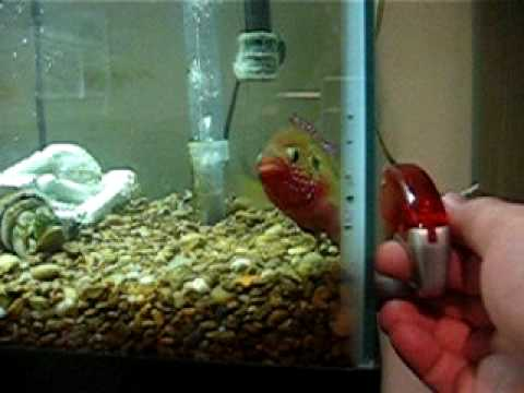 Jewel fish attacks screwdriver