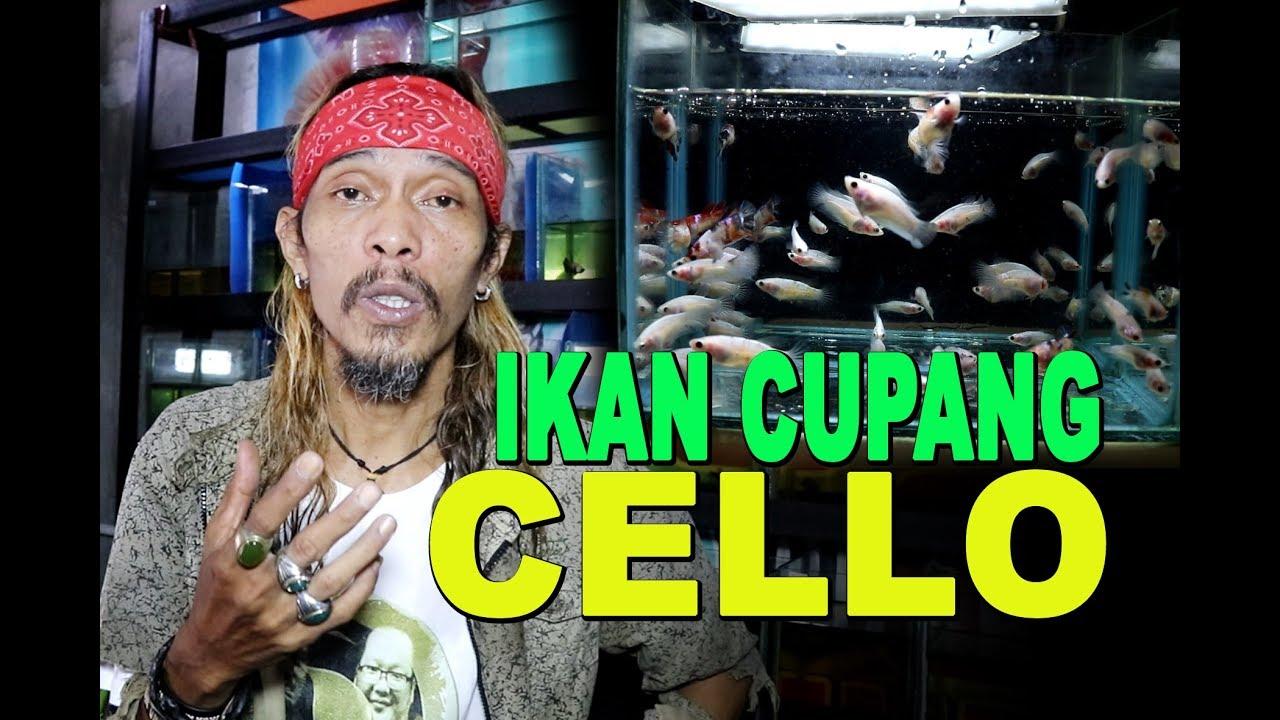 Ikan Cupang Cello Youtube