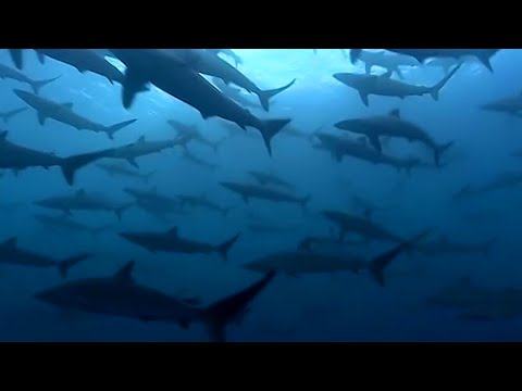Thousands Of Sharks Visit A Sea Mount - Blue Planet - BBC Earth
