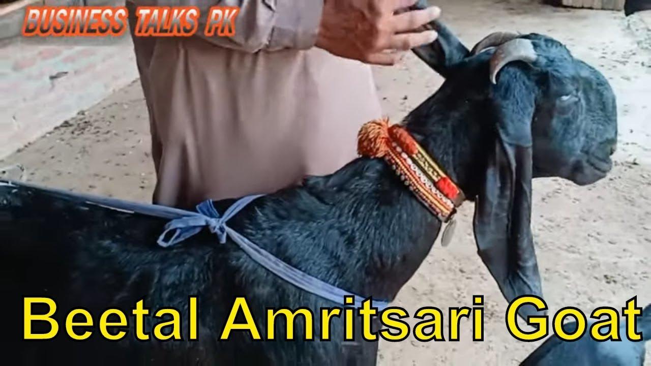 Beetal Amritsari Goat Ki Pehchan || Beautiful New Goat Alnoor Gat Farm ||  Goat Farming in Pakistan