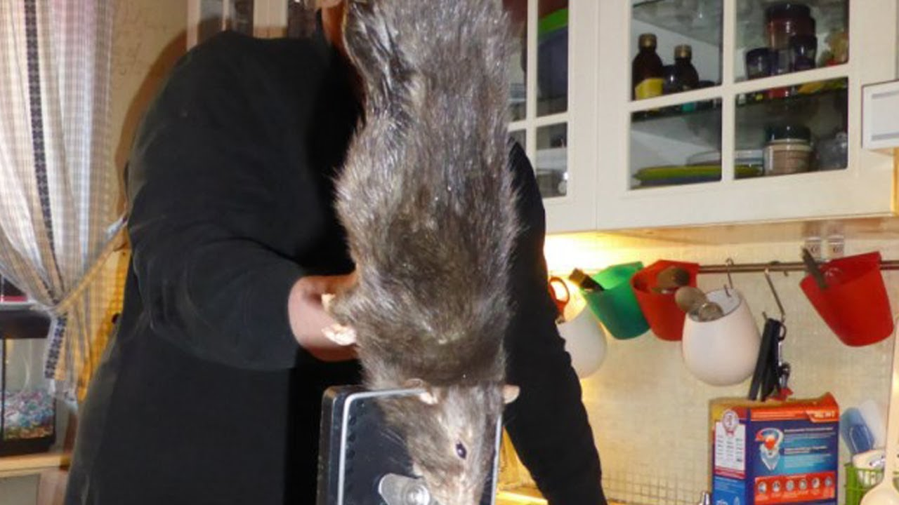 Discovered World Largest Rat