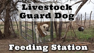 Livestock Guard Dog Feeding Stations | Our way to feed our Guard Dogs | Kiko Meat Goats | Dog Feeder