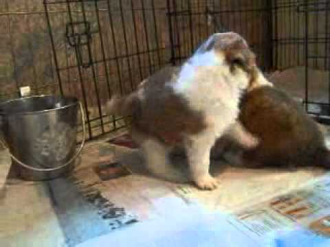 Shelties Merle Puppies 3 weeks old