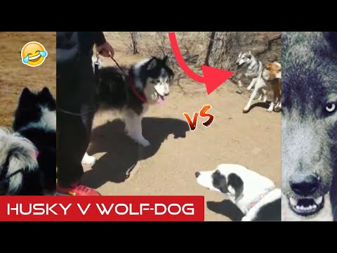 wooly-husky-meets-and-plays-with-wolf-dog---events-after-dog-park-fight!