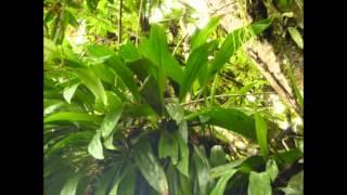 Орхидеи в природе. Эквадор. Ecuador №2