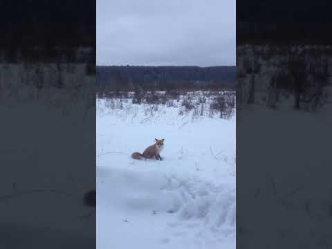 Лиса - симпатичная и голодная.  Pretty Fox. Hungry