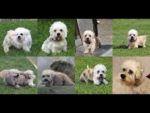 Generating Dandie Dinmont, Dandie Dinmont Terrier with Deep Learning
