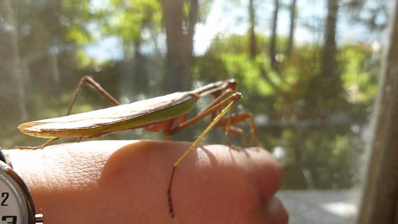 The Day the Giant Praying Mantis Invaded Our House - YouTube