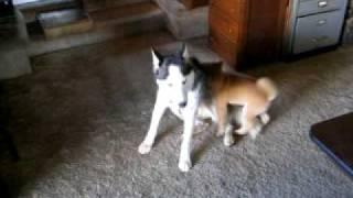 Shiba Inu And Siberian Husky Puppies Fight