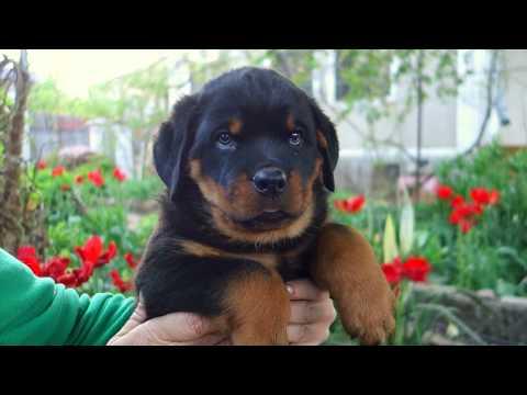 Его зовут Вайберт. Щенок ротвейлера. His name is Weibert. Rottweiler puppy.