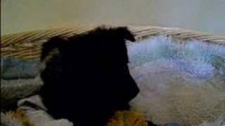 8 weeks old mudi puppy Irhaberki ciroka maroka