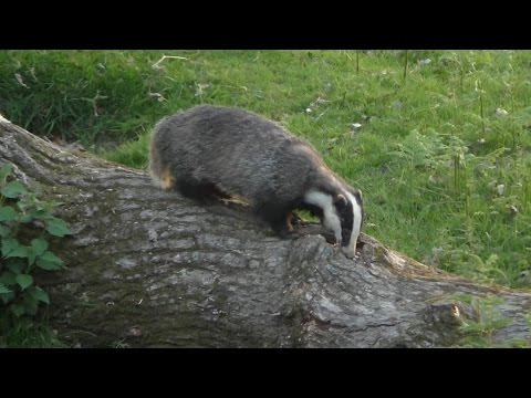 Badger-Watching in Mid-Wales