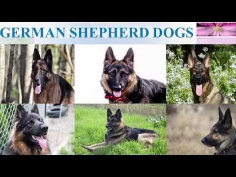 GERMAN SHEPHERD DOGS | One of the most intelligent dogs in the world