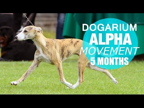 Whippet Dogarium Alpha on the move - 5 months